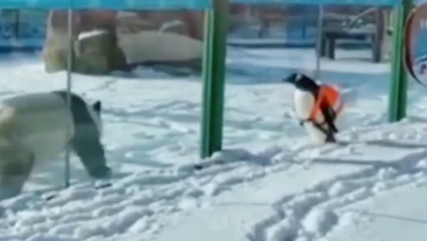 """企鹅去场地""""拜访""""熊猫,难得的会面,画面好萌可爱极了"""