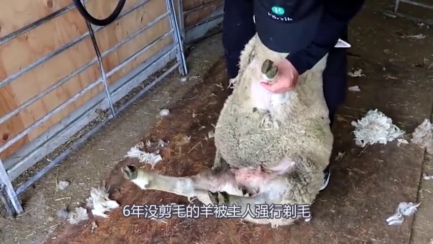 六年没剪毛的羊被主人强行剃毛,脱下大衣后,让人哭笑不得