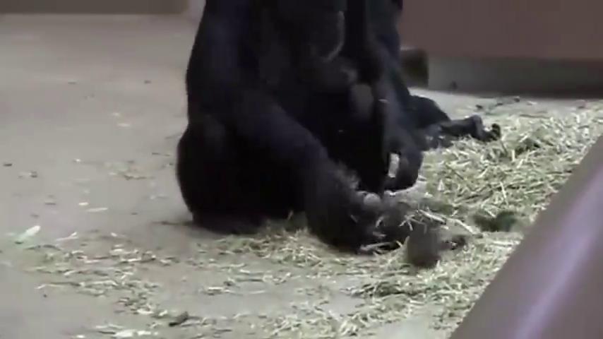 小猩猩想要妈妈抱抱,被拒绝后一下就不干了,直接躺地下打起滚来