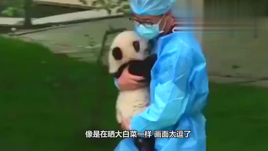饲养员把大熊猫当白菜晒,其中一只吸引众人目光:生着生着没墨了