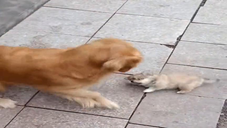 这小狗也太聪明了,知道硬打打不过,竟然采用迂回战术