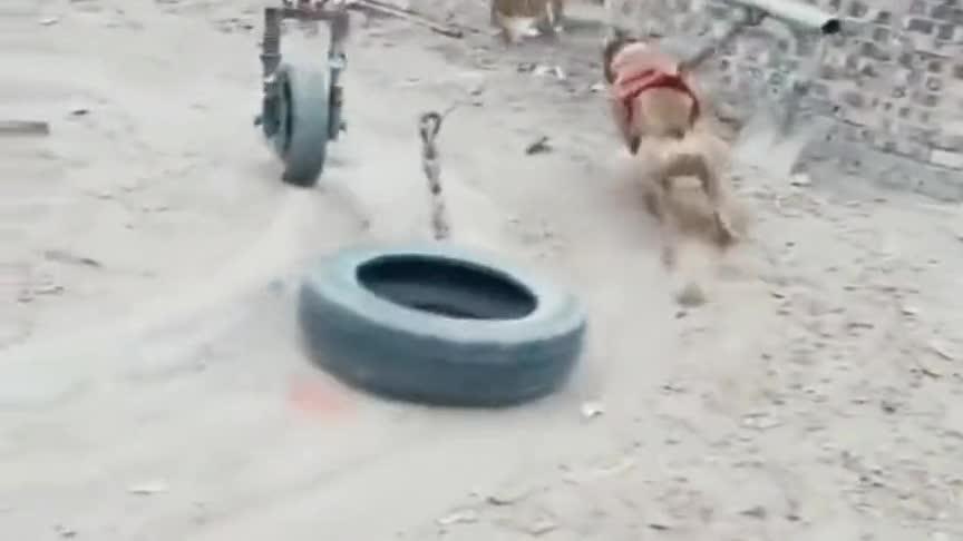 狗子为了证明地球是圆的,也是豁出去了!这样会有结果吗?