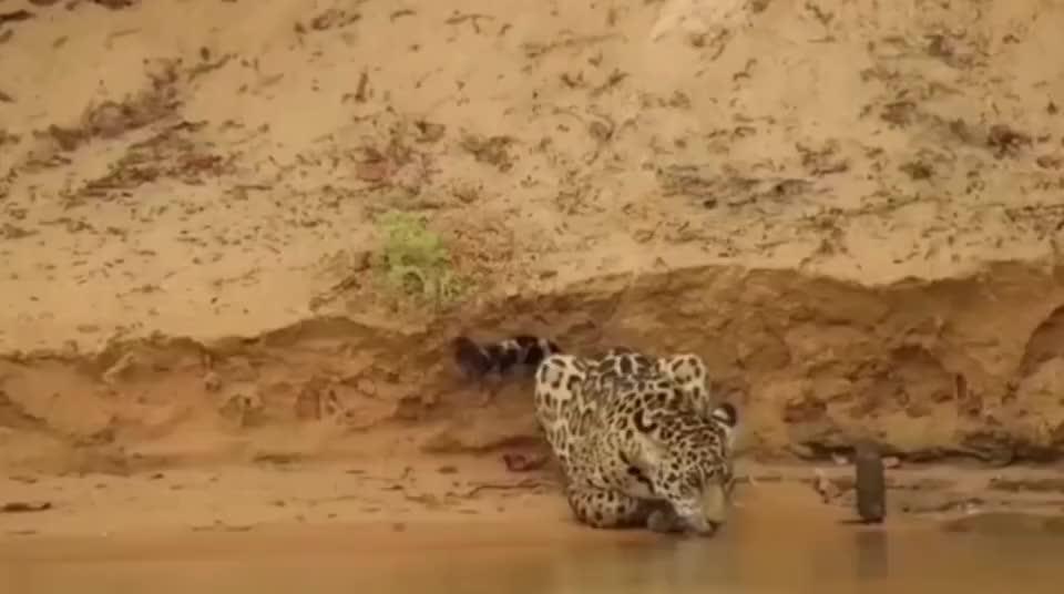 本以为美洲豹只是单纯的喝个水,原来抓鳄鱼才是正事!