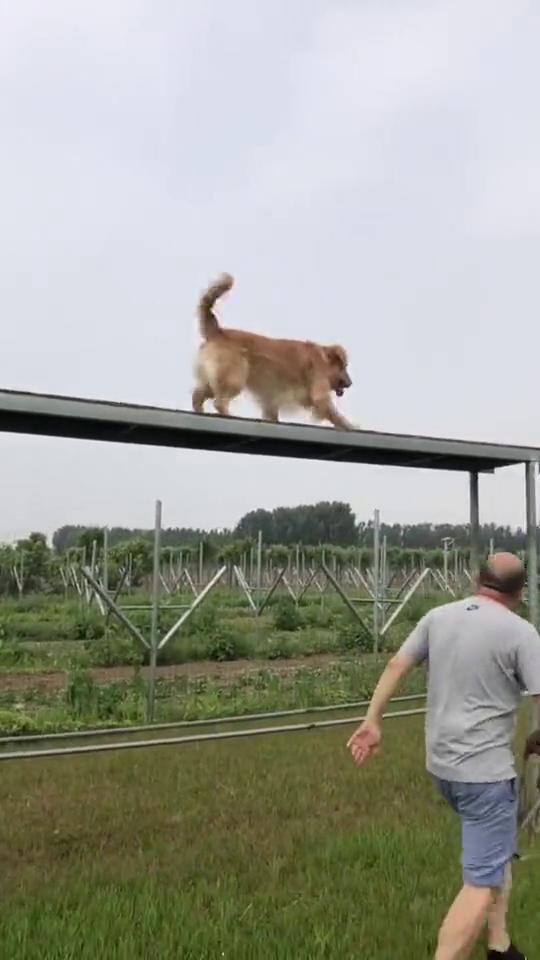金毛:我是宠物犬,又不是军犬!