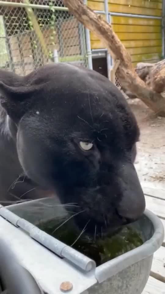 近距离观察黑豹仔细看看除了大点和黑猫也没啥区别