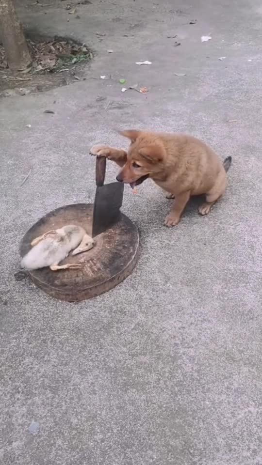 当鸭哥遇上狗头铡刀,除了直接晕倒装死,还能怎么办?