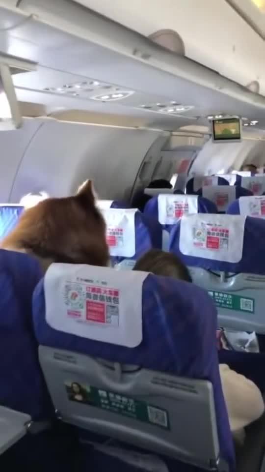 狗狗坐飞机,还冲着我伸舌头,不知道是谁家的