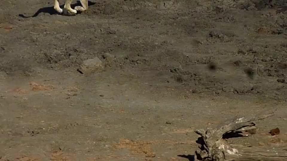 无畏的母狮,攻击并冲向斑马群,实力强劲