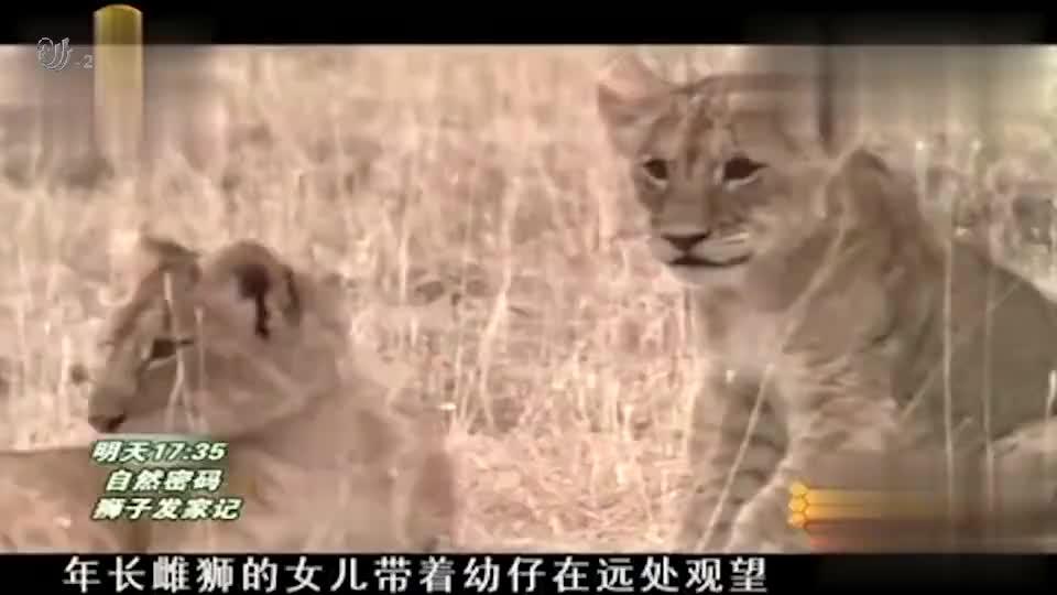 狮子为了吃小牛犊下足了功夫,一起来看看这次教科书级的狩猎