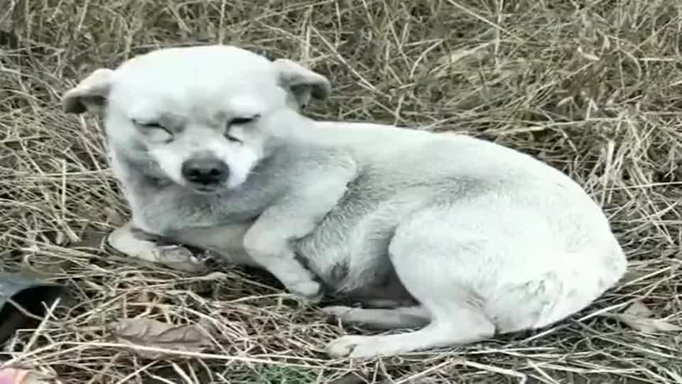 流浪狗快生了,它却躺在草地上不知所措