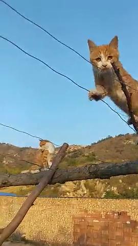 猫咪无师自通呀,难道钢丝那头有小鱼干吗?