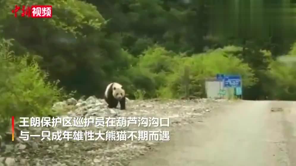 四川平武王朗保护区近距离拍到大熊猫活动画面
