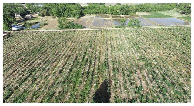 这些方法让猕猴桃种植不再难?成都大邑县112亩猕猴桃园转让