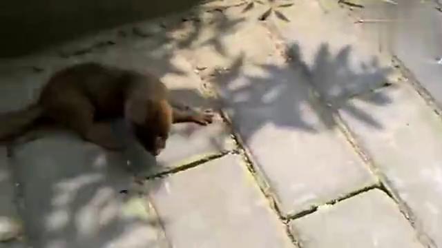 路边发现一只奇怪的黄鼠狼,这黄鼠狼是中暑了吗