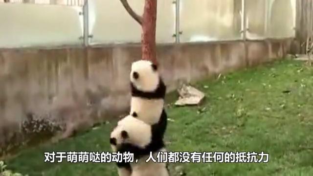 熊猫贪玩从树上掉下来,幸好被奶爸接住,网友:好功夫!