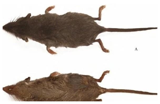安徽黄山发现2种新哺乳类动物物种村民称为尖嘴老鼠