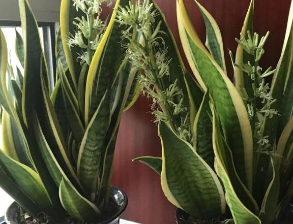 养虎皮兰,土里加2样东西,不烂根不烂叶,新芽多,蹭蹭长得快