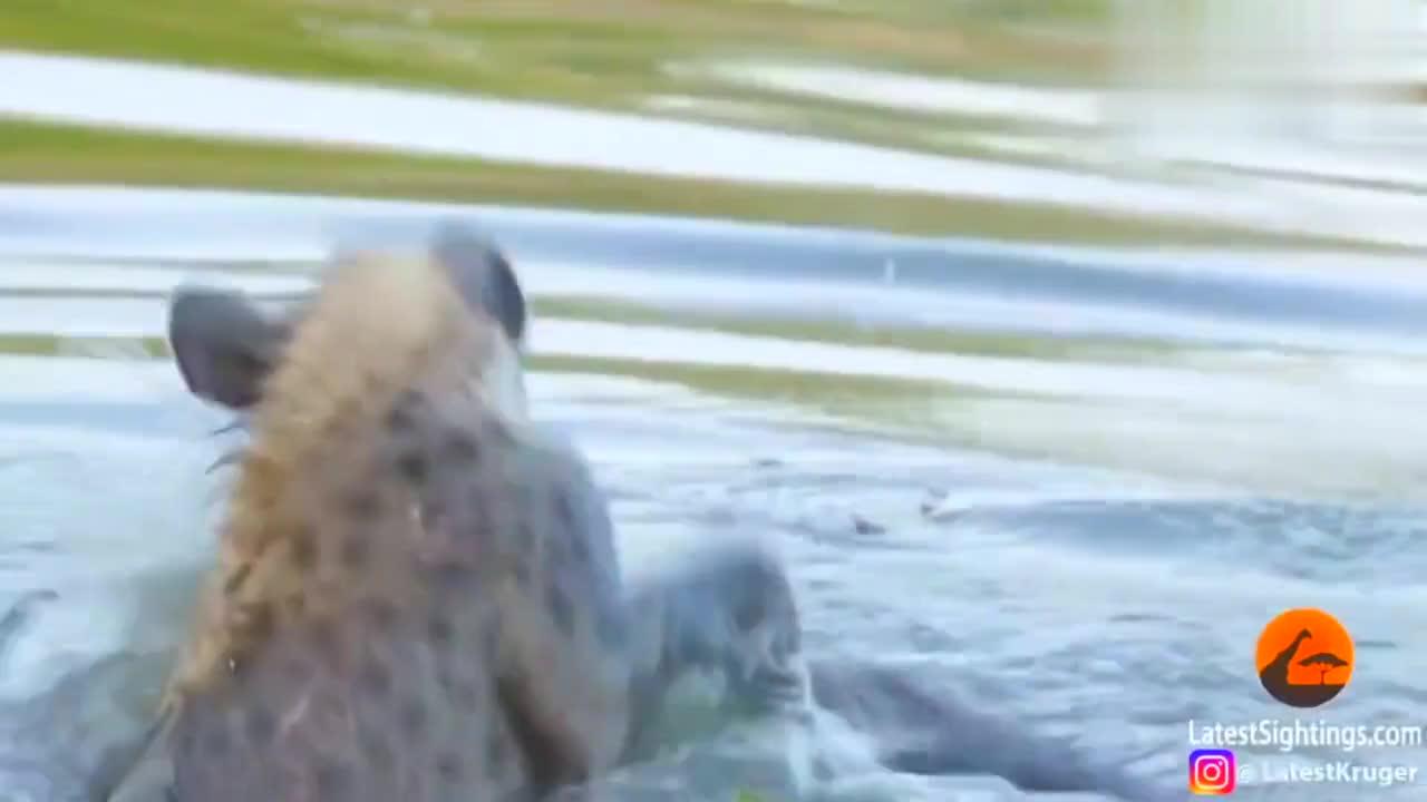 鬣狗二哥同类相残,咬住同类的耳朵往水里淹,太可怕了