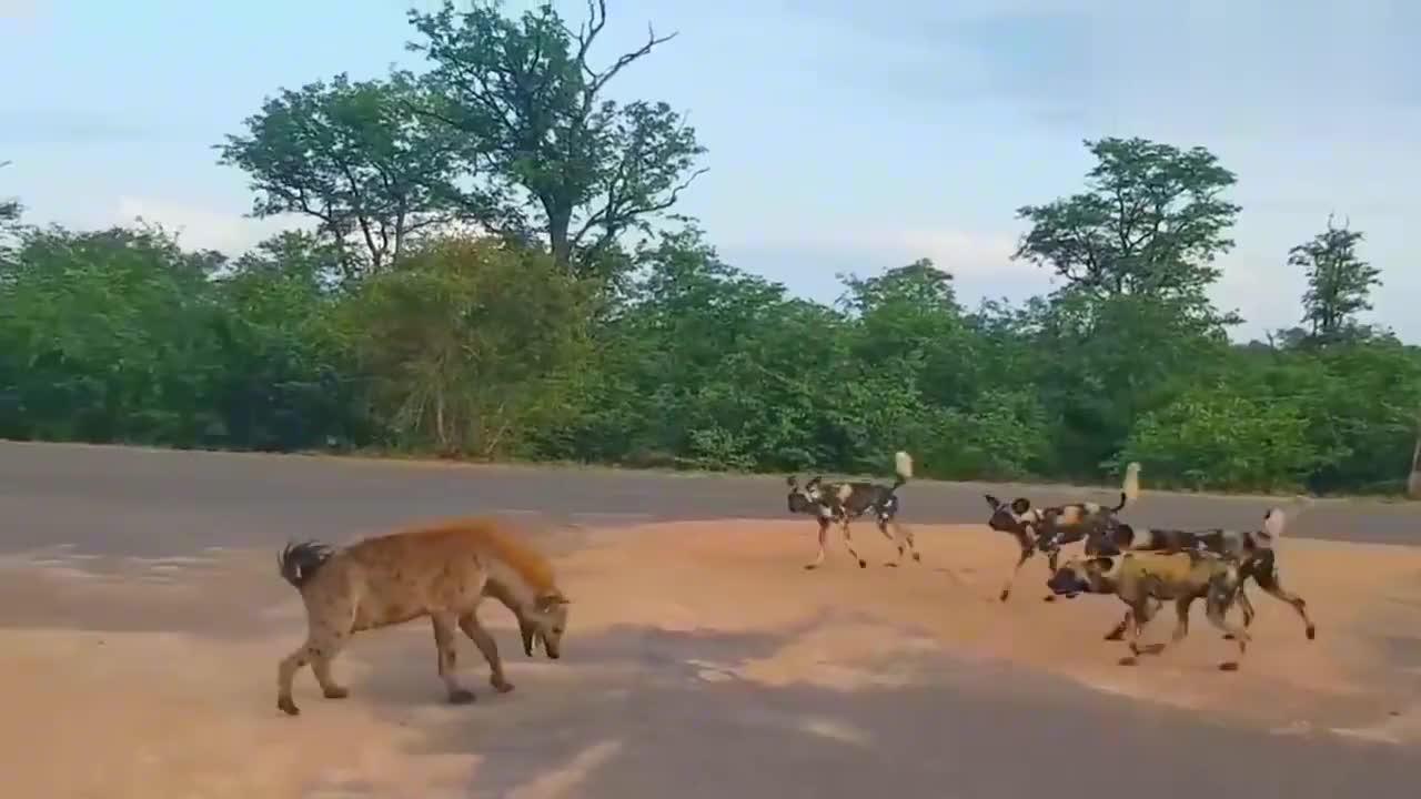 好歹鬣狗和野狗也是远房表亲,这样相爱相杀真的好吗
