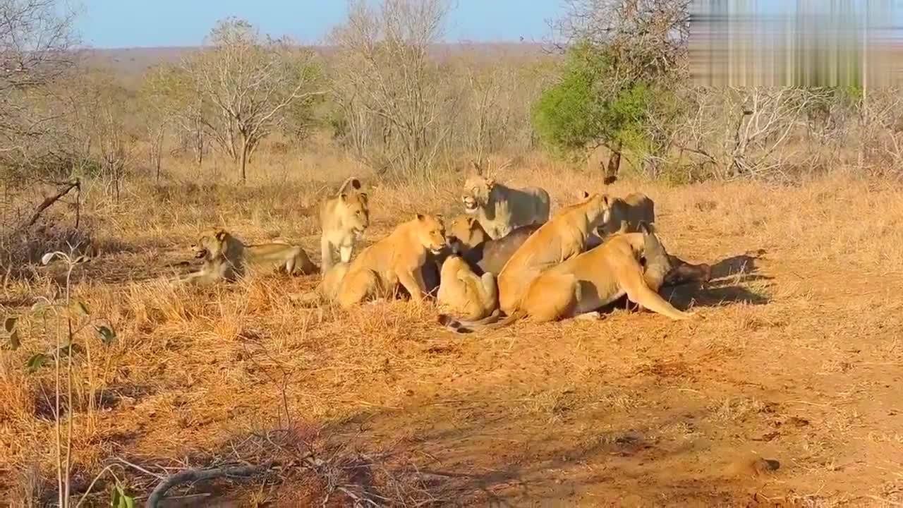 水牛受伤太严重,同伴过来赶走了狮子也起不来