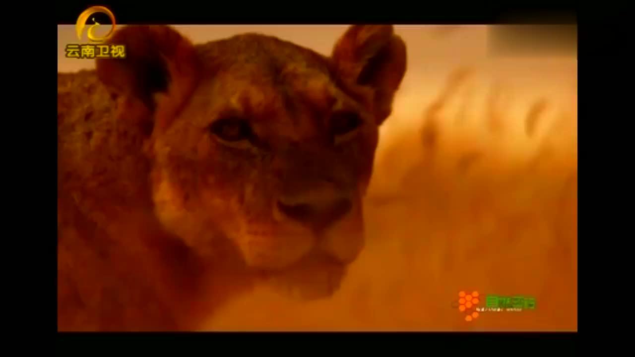 水牛扬起大角顶撞狮子,吓得狮子迅速撤退
