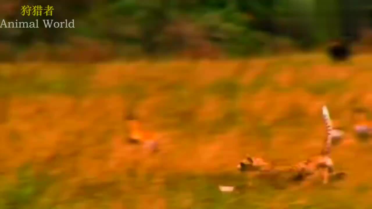 动物世界∶美洲豹捕食猎物