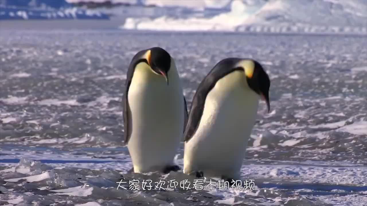 灰企鹅毛色与众不同,却遭同伴嫌弃,网友:简直真实的灰色头像