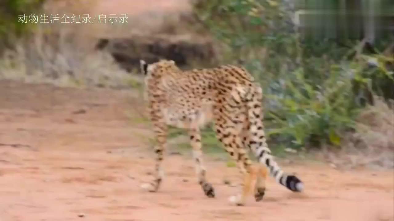 受伤的猎豹:被保护区发现,果断动手术救治,善莫大焉