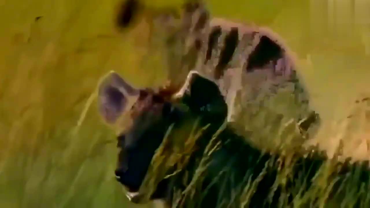 受伤的狮子遭鬣狗群殴,连滚带爬跳进河里也摆脱不掉鬣狗的追击