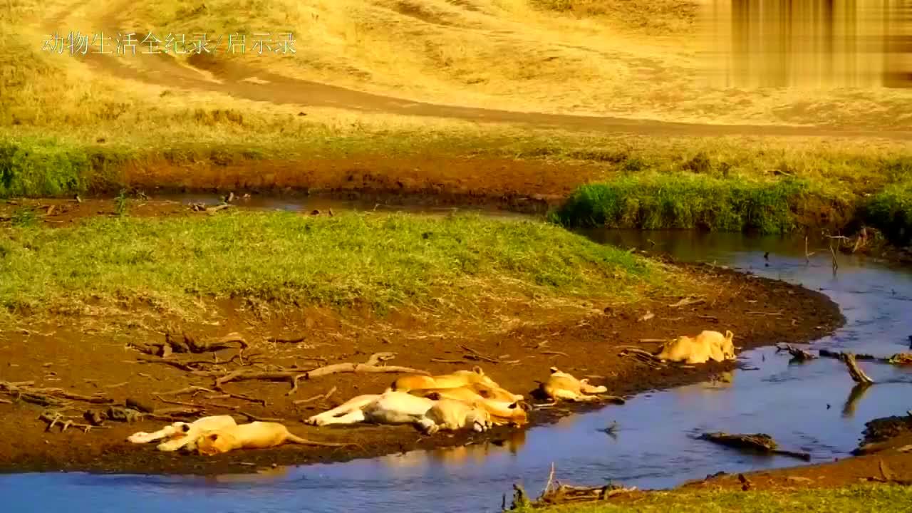 狮王和狮群,野牛和羚羊轮着吃,猎豹和野狗眼气也没用