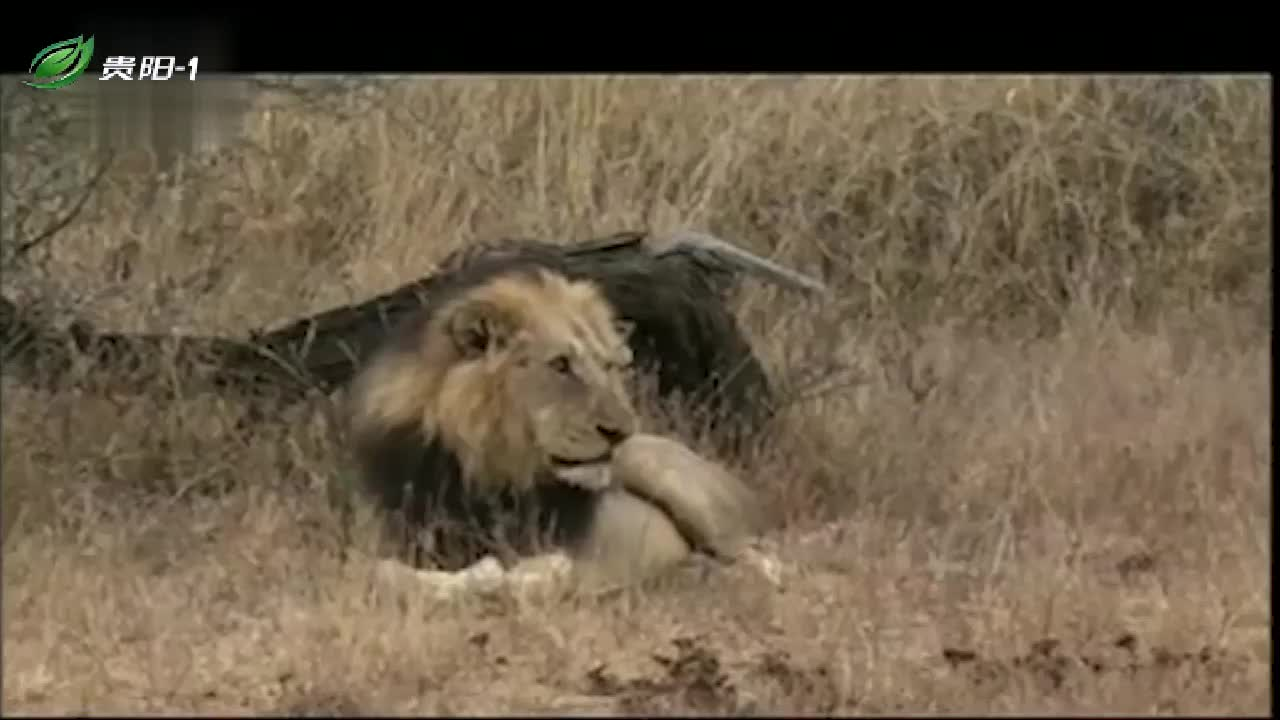 狮子兄弟感情好,不会为了母狮闹翻,谁先得到就是谁的