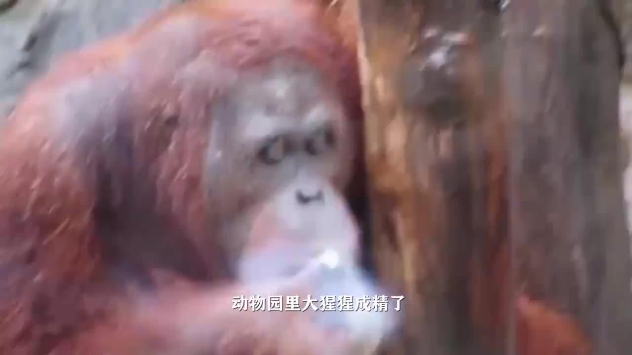 猩猩和婴儿一起长大,认为自己是人类,9个月后科学家急终止实验