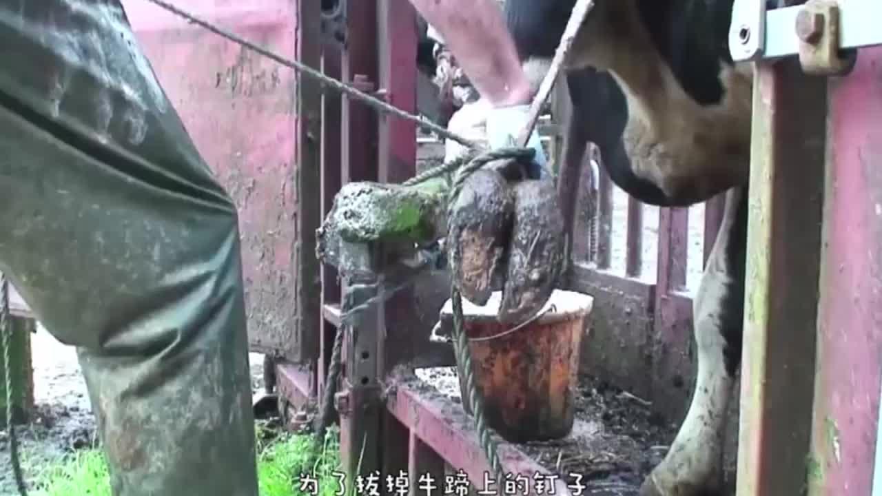牛儿被迫剪牛角,大钳子直接套上,隔着屏幕都感觉痛