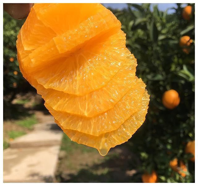 伦晚脐橙10月份精细管理技术|虫果|实蝇|幼虫|敌百虫|脐橙