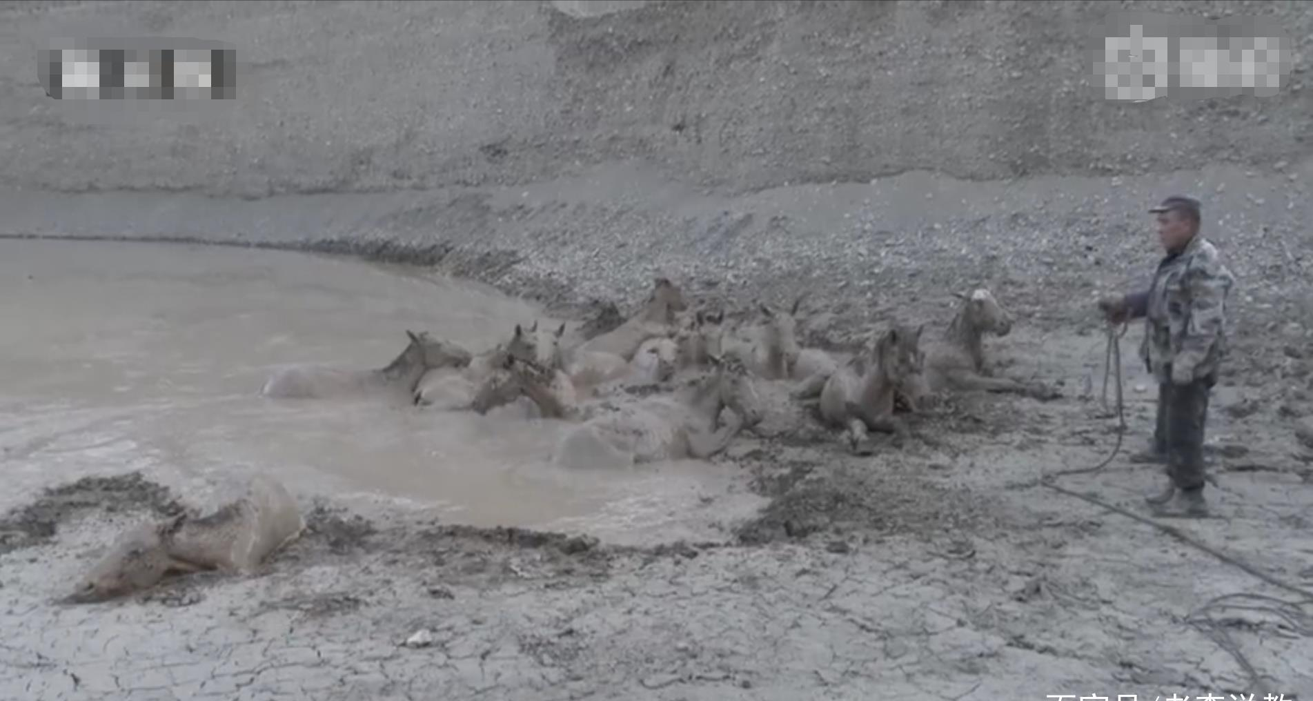 新疆塔城一次特殊救援,将18匹苏昭马从泥潭中救出
