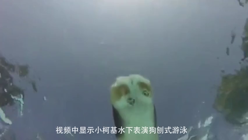狗刨式游泳?从水中看小柯基游泳,这小肚皮也太萌了吧!