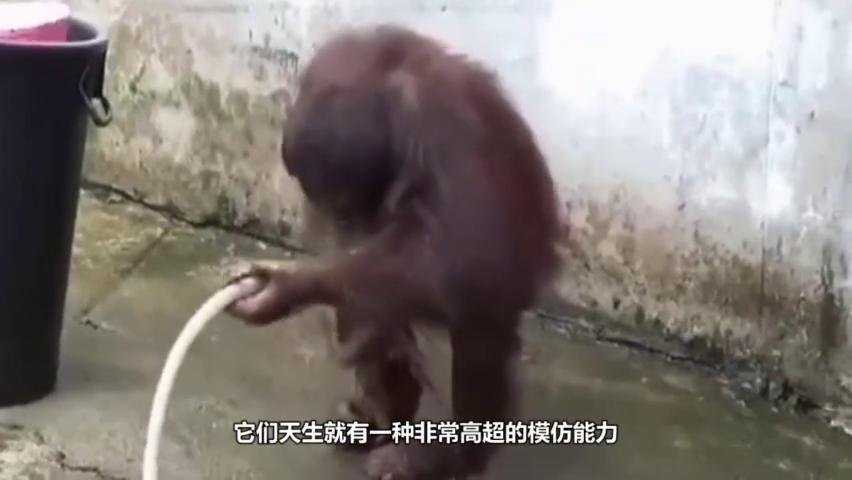 猩猩爬到了高压线上,玩嗨了,工作人员想要救他,猩猩还不领情?