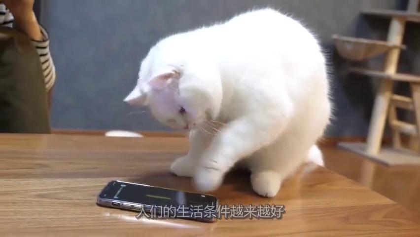 朋友养的猫咪很聪明,竟然用爪子玩手机游戏,这猫怕是成精了!
