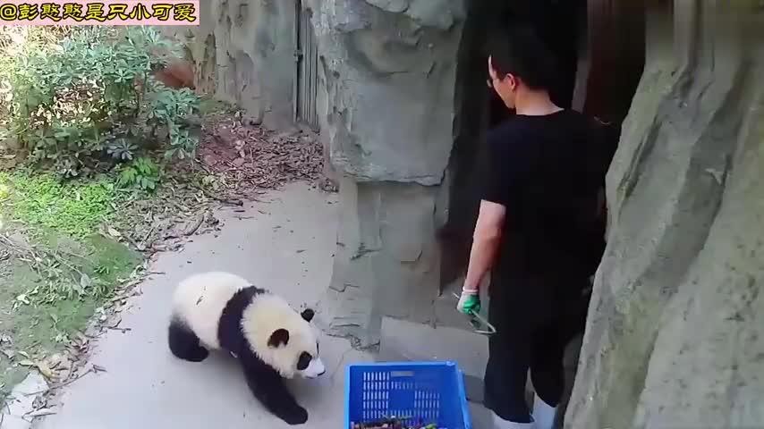 熊猫与饲养员的日常,国宝为了追上顺风车,像极了追公交车的我