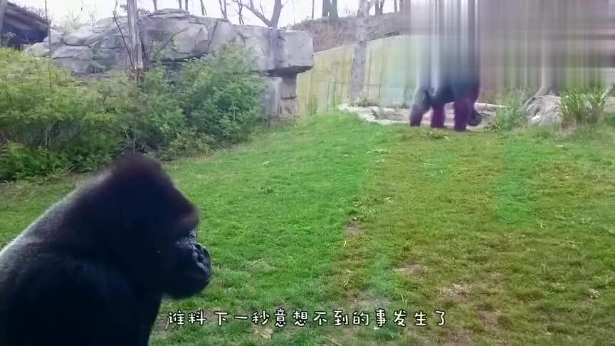 """大猩猩被小孩激怒,一拳""""击碎""""钢化玻璃,镜头拍下惊险一幕!"""