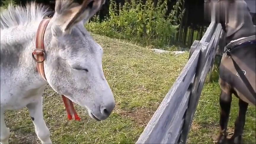 狗狗看到小毛驴好开心,即使隔着栅栏也要闻一闻小毛驴耳朵的味道