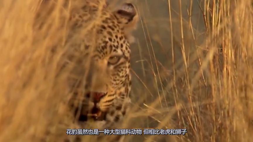 猫头鹰在树干中休息,被饥饿的花豹盯上,下一秒花豹直接上树开吃