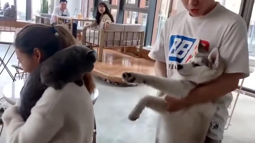 二哈咬到蓝猫咪尾巴,二哈的铲屎官在教它道歉!