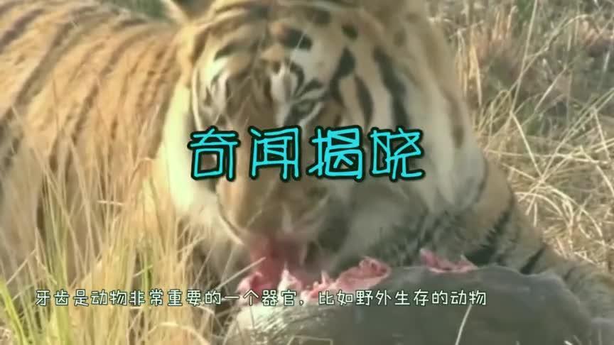 大熊猫吃竹子把牙崩了