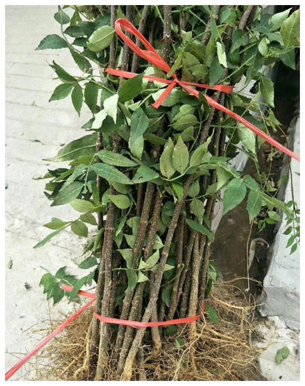 花椒树苗生态习性 花椒苗繁殖方法 大红袍花椒苗品种介绍