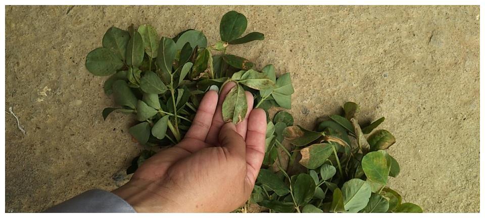 花生叶子长黑斑是什么病?花生叶斑病,应正确识别病害及综合防控