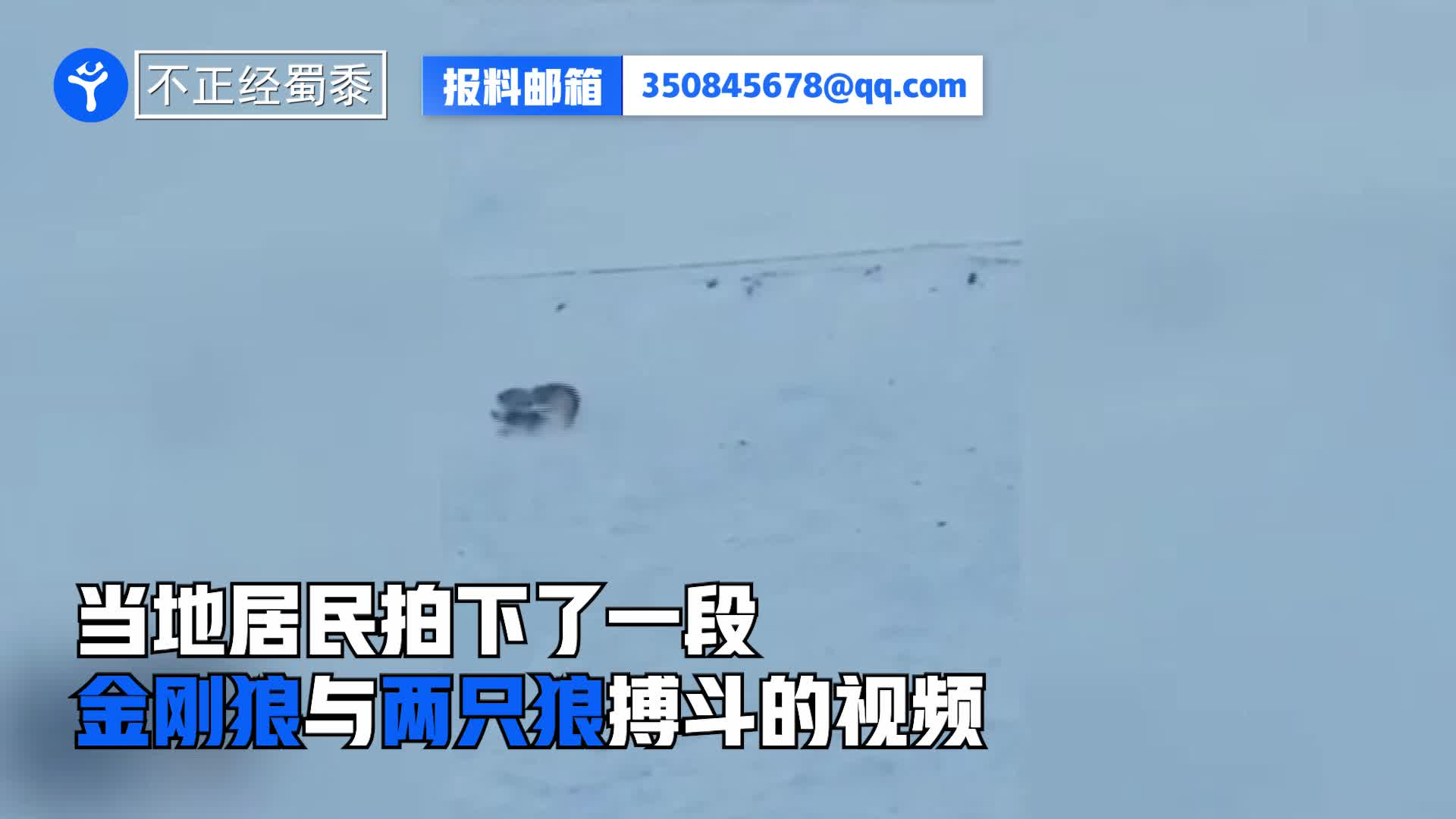 貂熊在雪原上主动向2只狼挑起战斗:请叫我金刚狼!