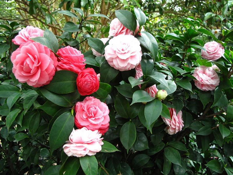 养的茶花有了很多花苞,但是花盆偏小,怎么换盆避免掉花苞?