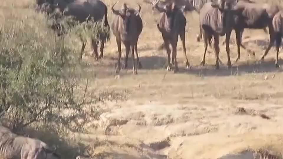 大象正在沼泽喝水鳄鱼猛的一下咬住了小象鼻子镜头记录全过程