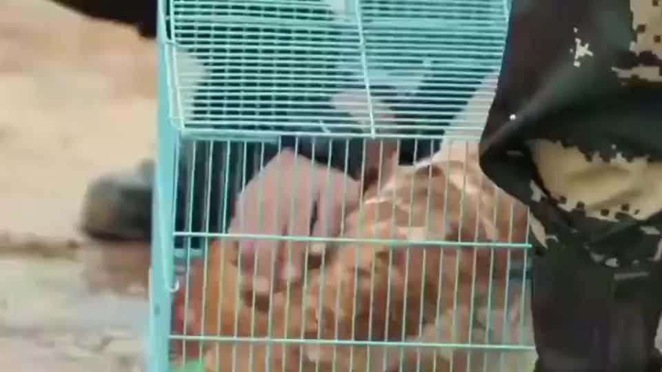真正男子汉:刘金沂生吃活鸡,杨幂吓坏了,表情完全傻掉!